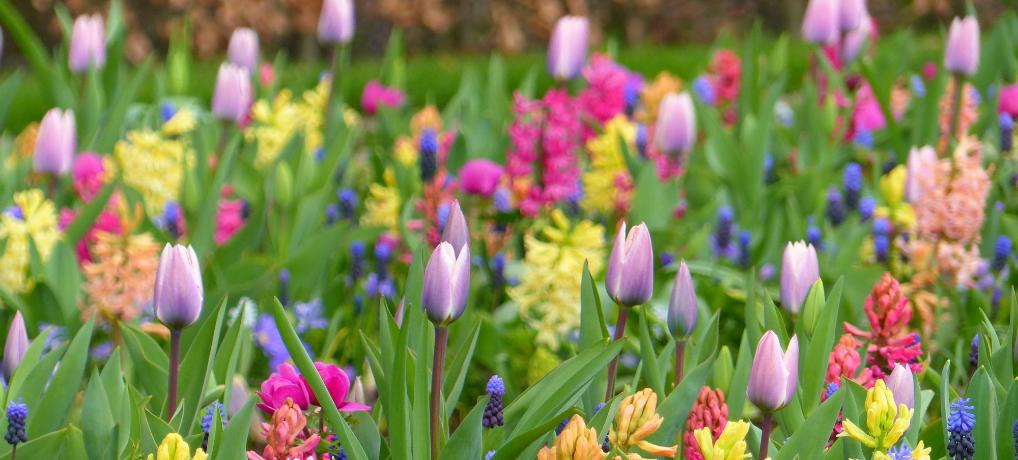 Keukenhof: uma dose concentrada de primavera